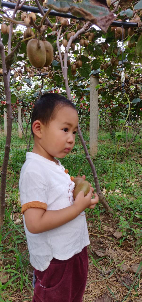陝西周至翠香猕猴桃新鲜便甜爆了